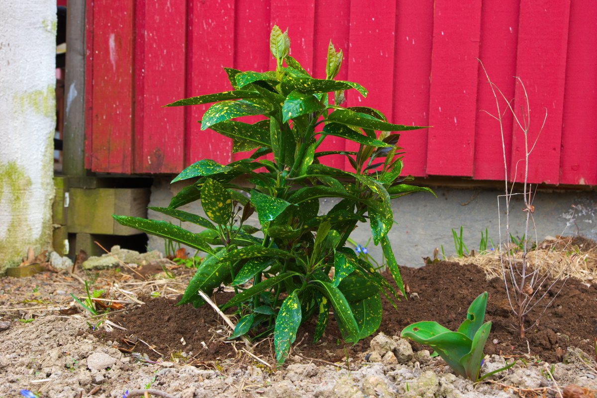 plantera fjärilsbuske